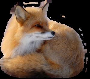 Fox Trapping Belleville MI