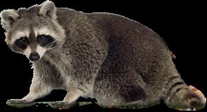 Raccoon Control Livonia MI