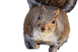 Squirrel Removal Plymouth Mi
