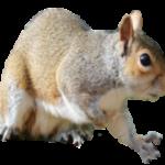squirrel control canton mi