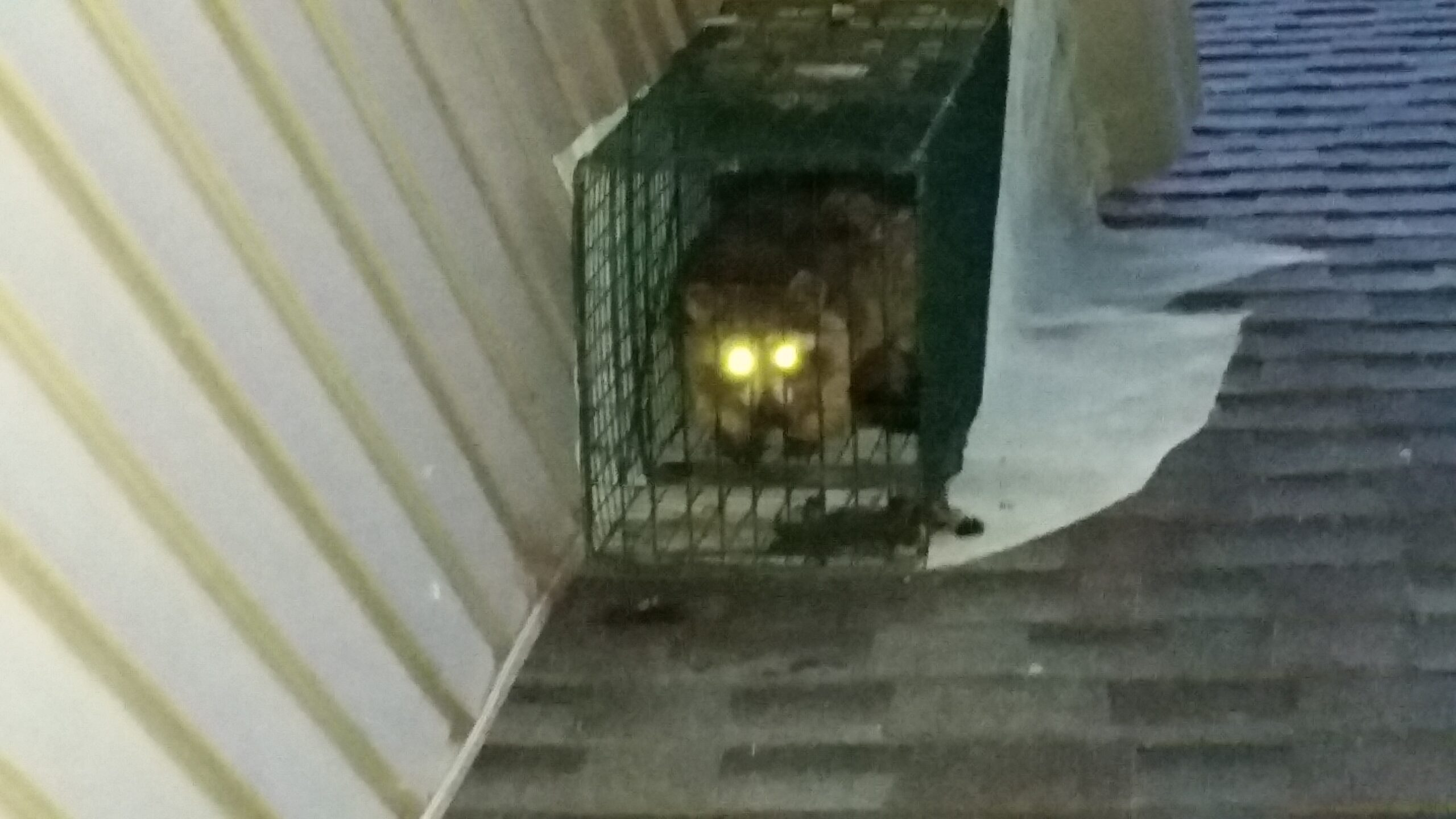 Raccoon Eviction Services