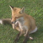 Fox removal livonia mi