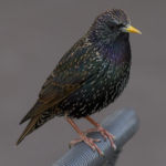 Michigan Starling Control